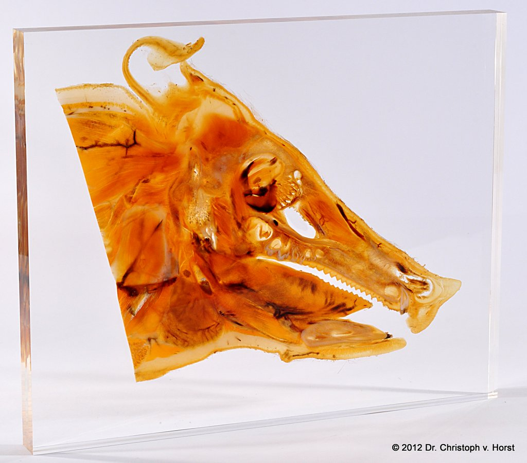 Sheet plastination specimen of a pig head