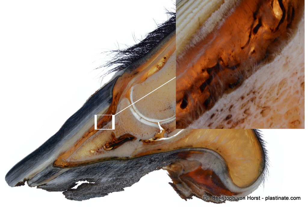 Horse hoof plastinate with distal phalanx (P3), hoof corium and wall.