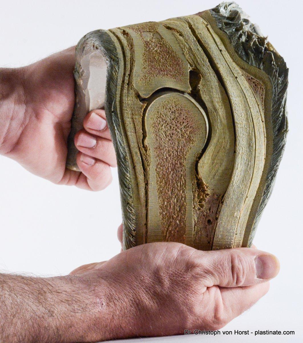 Horse_hoof_anatomy_specimen_large-4