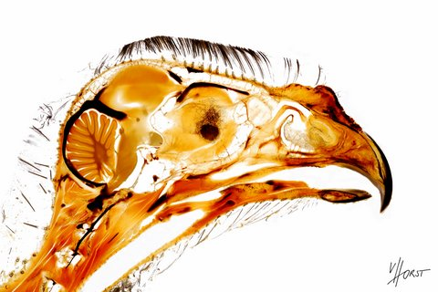Sectional anatomy of a gyr falcon head