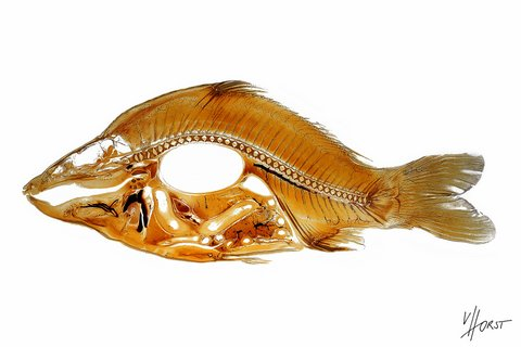 Sectional anatomy of a carp fish