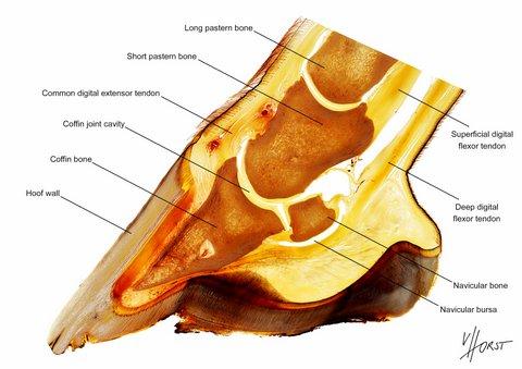 Equine foot morphology teaching chart