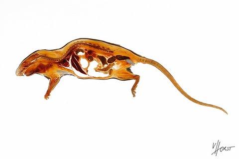 Rat anatomy specimen with copulation plug topography