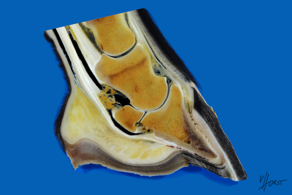 Horse hoof deep digital flexor tendon